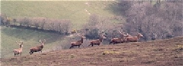 walking in england, red deer on the somerset and Devon coast path in the Exmoor national park