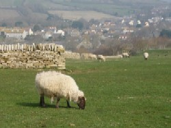 Sheep grazing in the meadow along the Dorset Coast Path. Walking the Dorset Coast Path and Lyme Regis. Image provided by Judy Calman